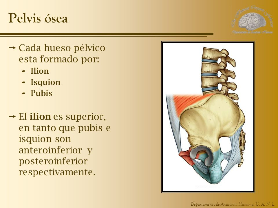 Pelvis ósea Cada hueso pélvico esta formado por: