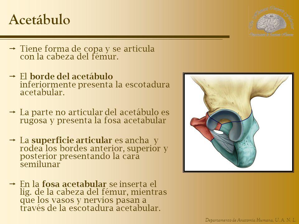 Acetábulo Tiene forma de copa y se articula con la cabeza del fémur.
