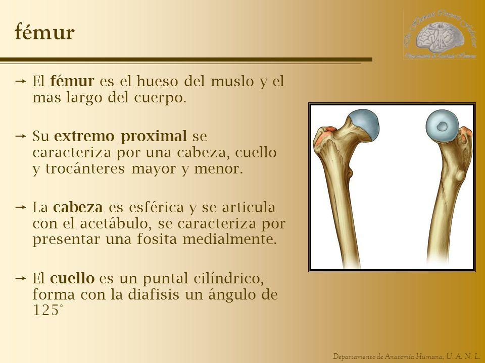 fémur El fémur es el hueso del muslo y el mas largo del cuerpo.