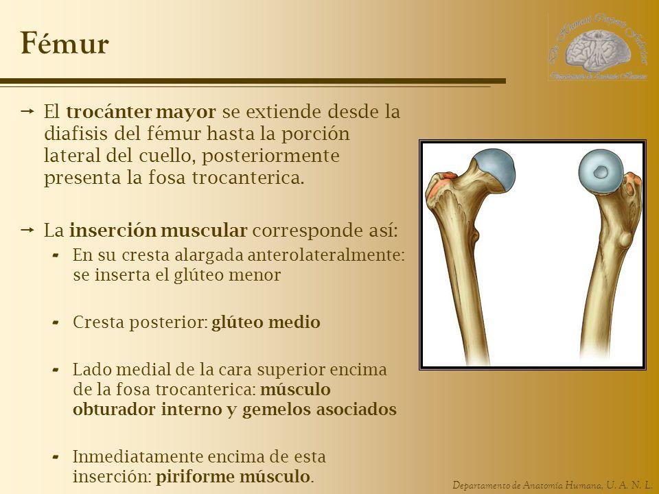 Fémur El trocánter mayor se extiende desde la diafisis del fémur hasta la porción lateral del cuello, posteriormente presenta la fosa trocanterica.