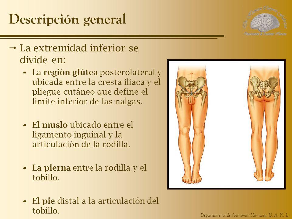 Descripción general La extremidad inferior se divide en: