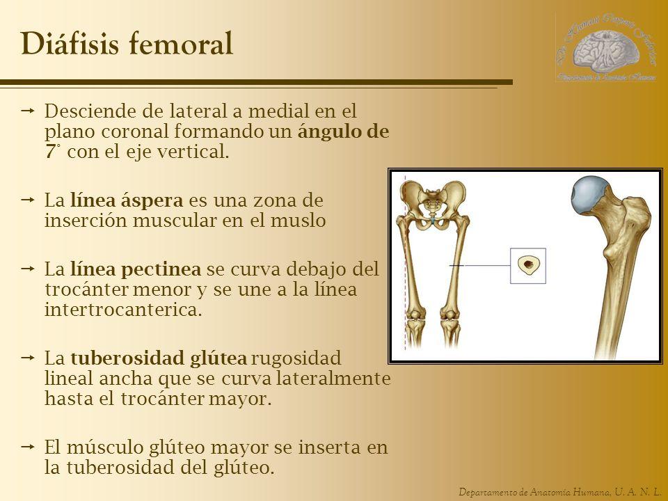 Diáfisis femoral Desciende de lateral a medial en el plano coronal formando un ángulo de 7° con el eje vertical.