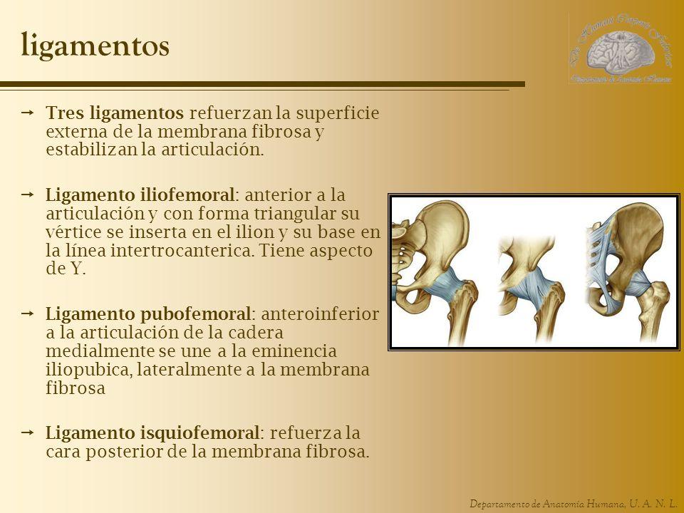 ligamentos Tres ligamentos refuerzan la superficie externa de la membrana fibrosa y estabilizan la articulación.