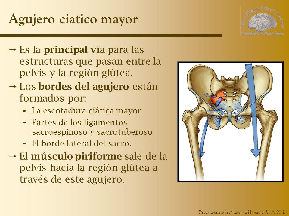 Agujero ciatico mayor Es la principal vía para las estructuras que pasan entre la pelvis y la región glútea.