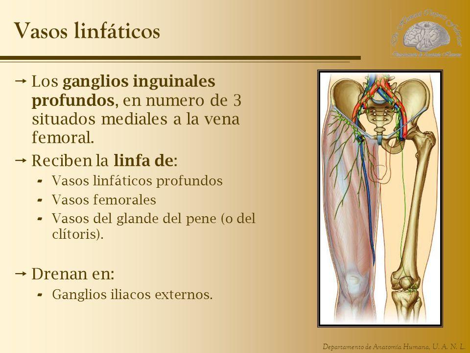 Vasos linfáticos Los ganglios inguinales profundos, en numero de 3 situados mediales a la vena femoral.