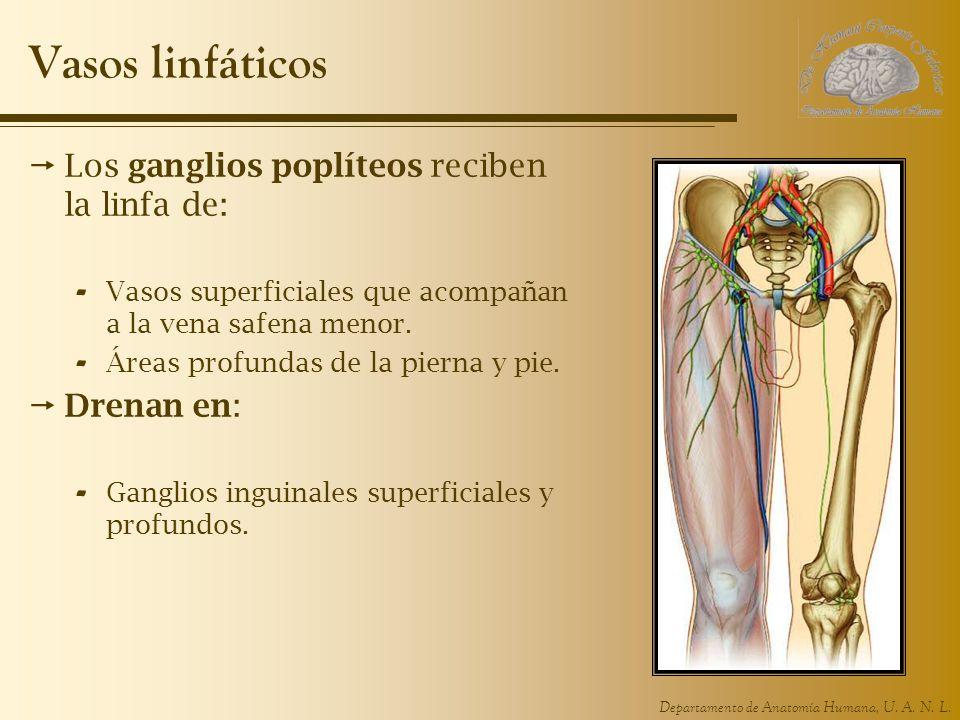 Hermosa Anatomía De La Vena Safena Menor Motivo - Imágenes de ...