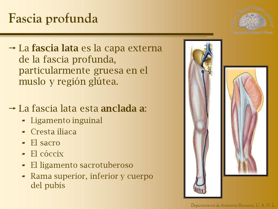 Fascia profunda La fascia lata es la capa externa de la fascia profunda, particularmente gruesa en el muslo y región glútea.