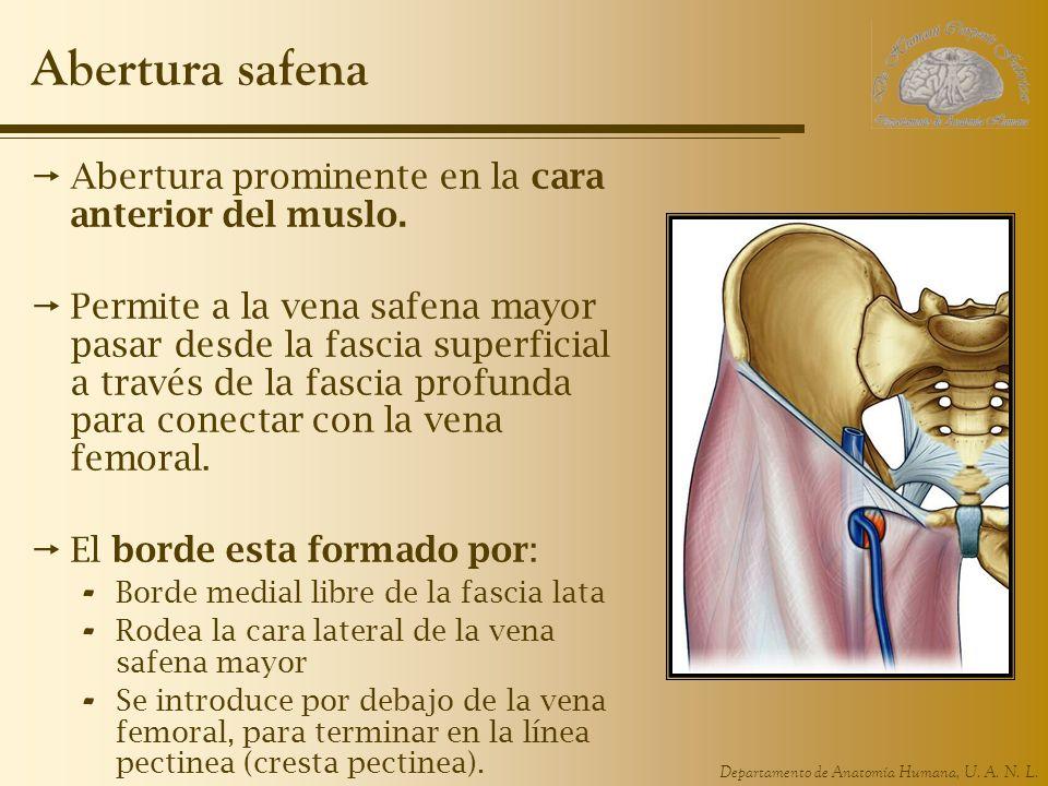 Abertura safena Abertura prominente en la cara anterior del muslo.