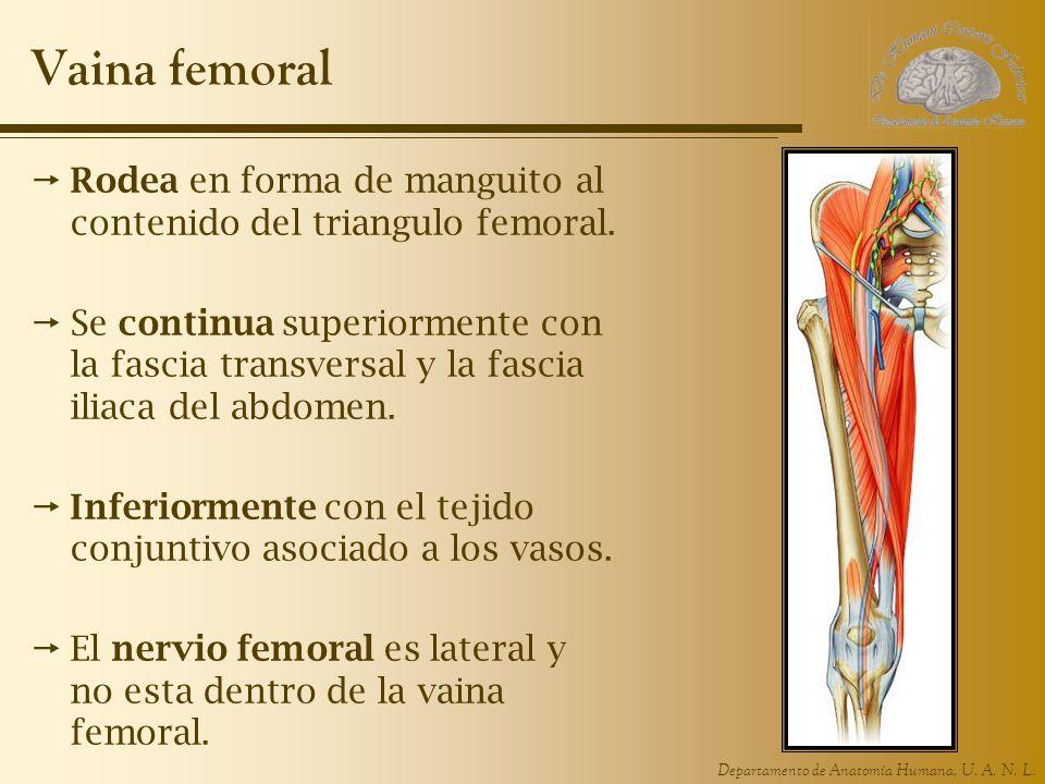 Vaina femoral Rodea en forma de manguito al contenido del triangulo femoral.