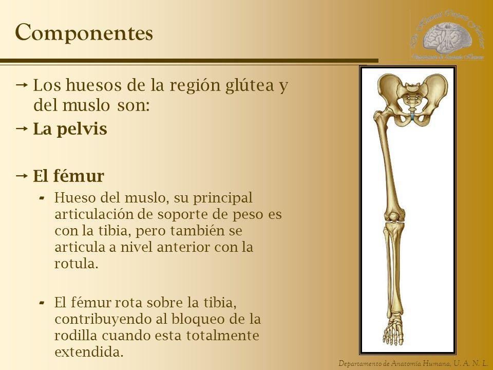 Componentes Los huesos de la región glútea y del muslo son: La pelvis