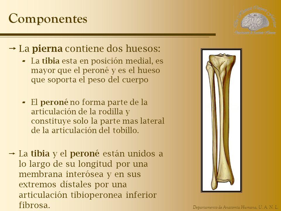 Componentes La pierna contiene dos huesos: