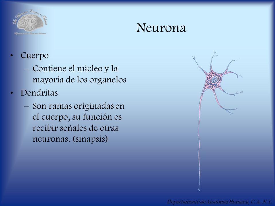 Neurona Cuerpo Contiene el núcleo y la mayoría de los organelos
