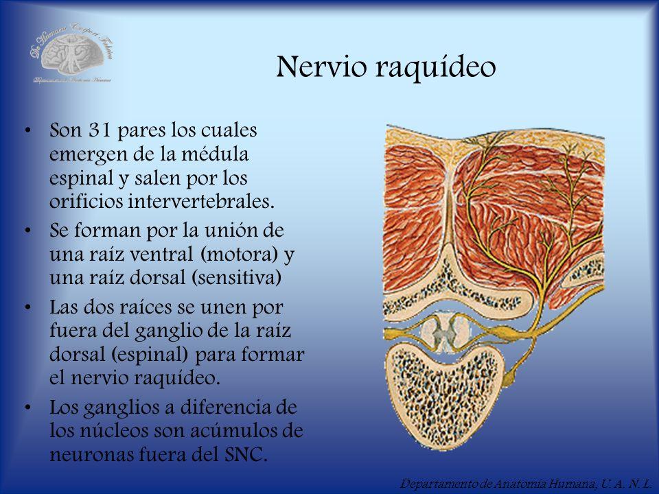 Nervio raquídeo Son 31 pares los cuales emergen de la médula espinal y salen por los orificios intervertebrales.
