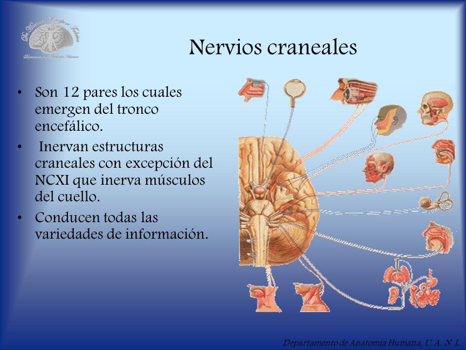 Nervios craneales Son 12 pares los cuales emergen del tronco encefálico.