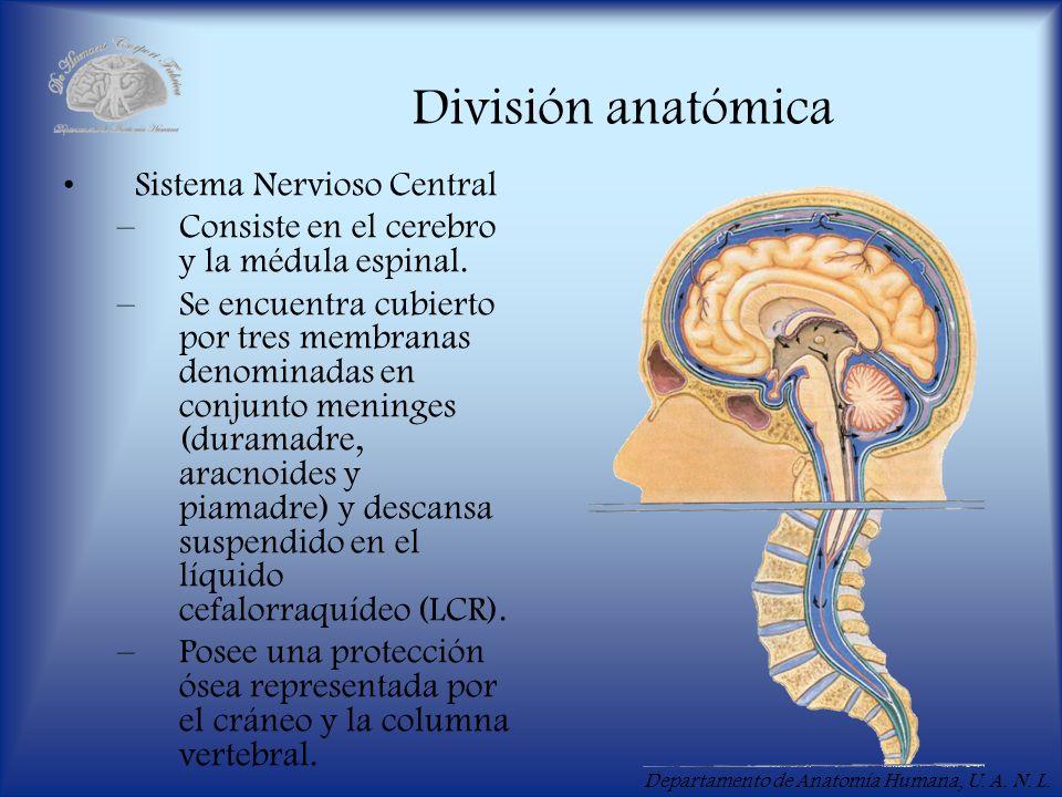 División anatómica Sistema Nervioso Central