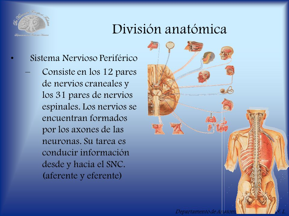 División anatómica Sistema Nervioso Periférico