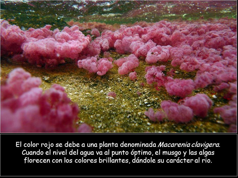 El color rojo se debe a una planta denominada Macarenia clavigera