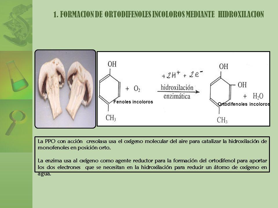 1. FORMACION DE ORTODIFENOLES INCOLOROS MEDIANTE HIDROXILACION