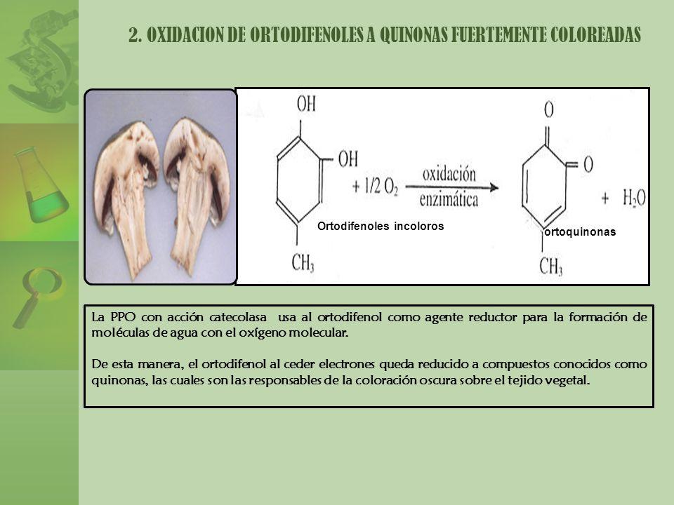 2. OXIDACION DE ORTODIFENOLES A QUINONAS FUERTEMENTE COLOREADAS