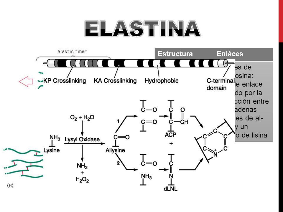 Elastina Estructura Enláces Cadena de dímeros de tropomiosina