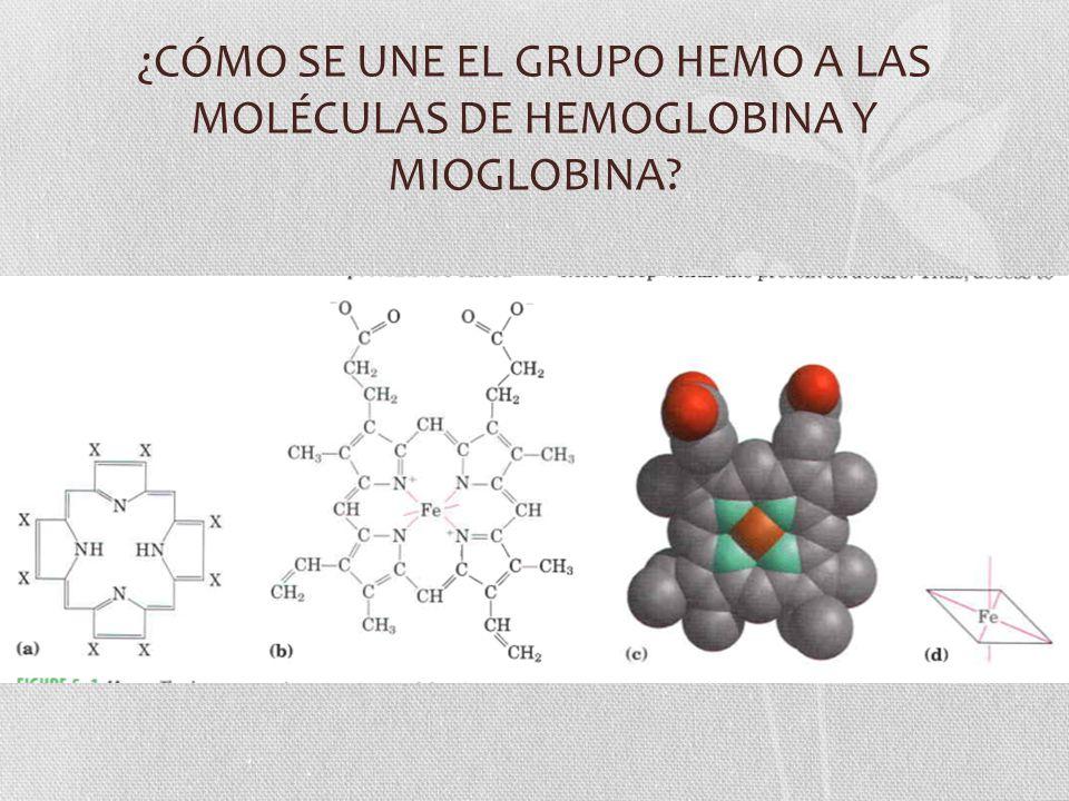 ¿CÓMO SE UNE EL GRUPO HEMO A LAS MOLÉCULAS DE HEMOGLOBINA Y MIOGLOBINA