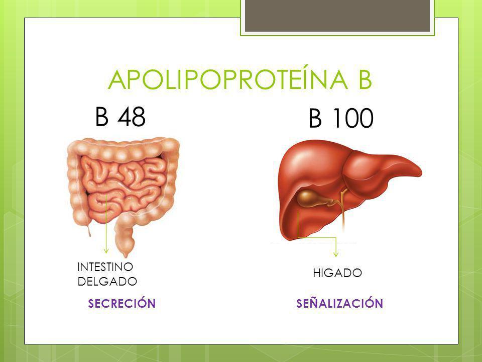 APOLIPOPROTEÍNA B B 48 B 100 INTESTINO DELGADO HIGADO SECRECIÓN