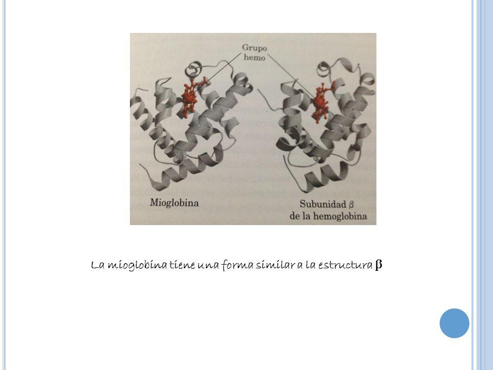 La mioglobina tiene una forma similar a la estructura β