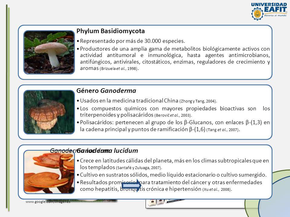 Phylum Basidiomycota Género Ganoderma Ganoderma lucidum
