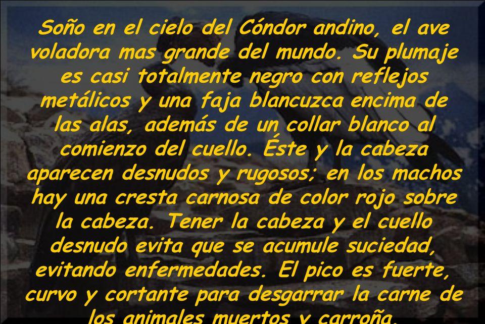 Soño en el cielo del Cóndor andino, el ave voladora mas grande del mundo.