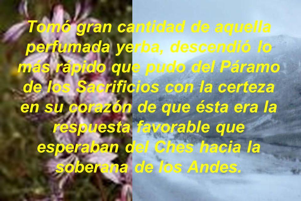 Tomó gran cantidad de aquella perfumada yerba, descendió lo más rápido que pudo del Páramo de los Sacrificios con la certeza en su corazón de que ésta era la respuesta favorable que esperaban del Ches hacia la soberana de los Andes.