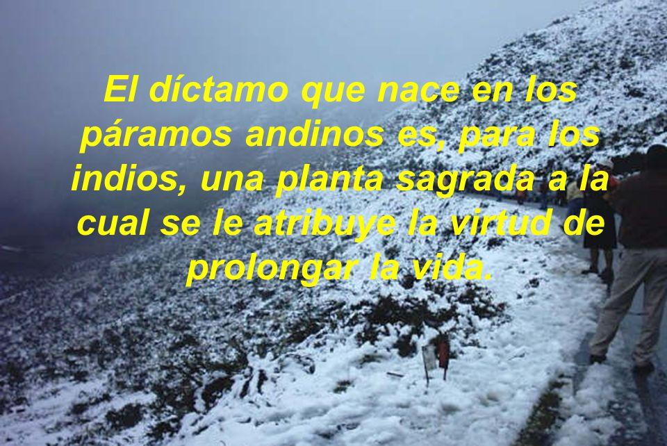 El díctamo que nace en los páramos andinos es, para los indios, una planta sagrada a la cual se le atribuye la virtud de prolongar la vida.