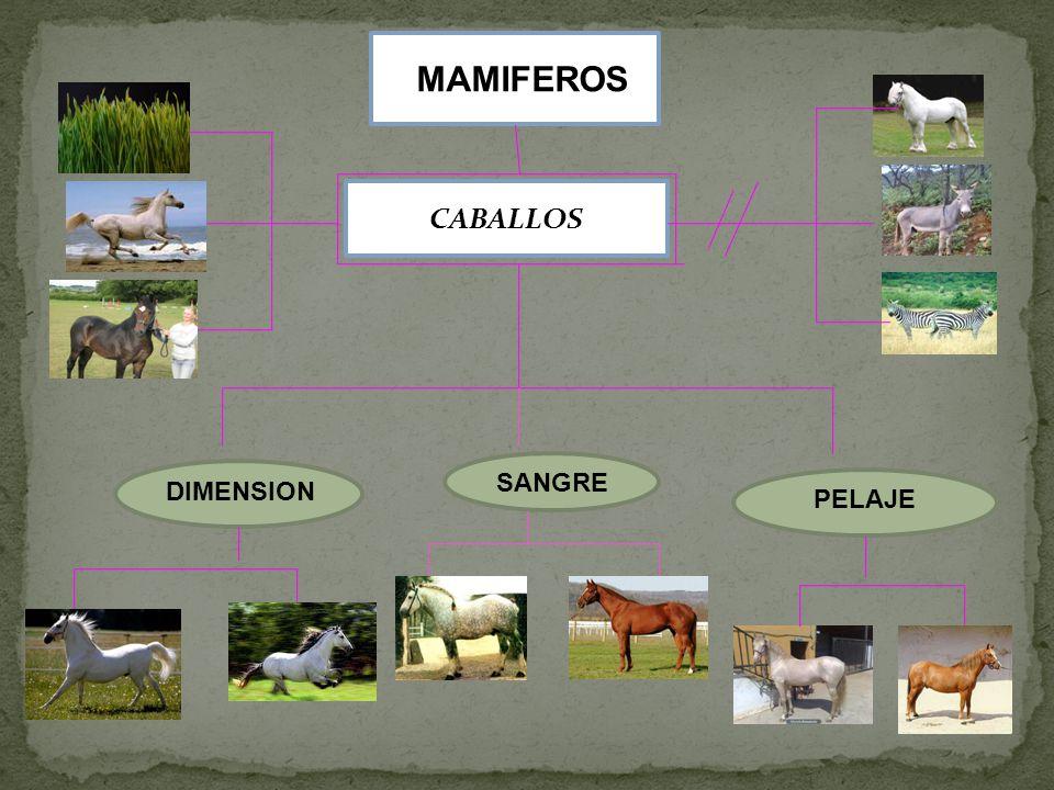 MAMIFEROS CABALLOS SANGRE DIMENSION PELAJE