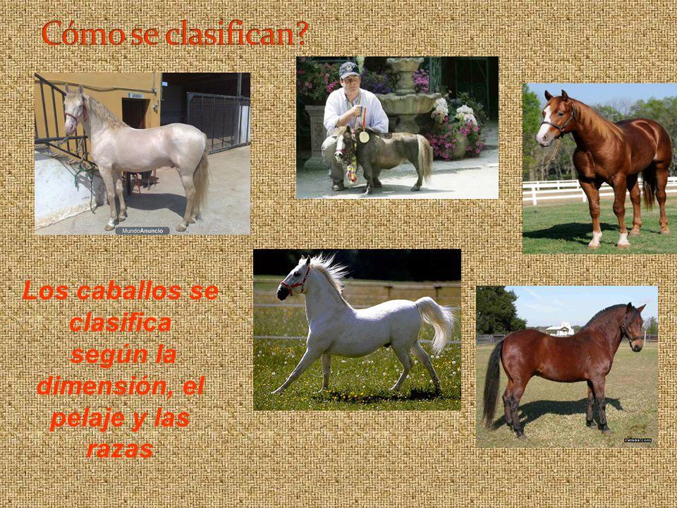 Los caballos se clasifica según la dimensión, el pelaje y las razas