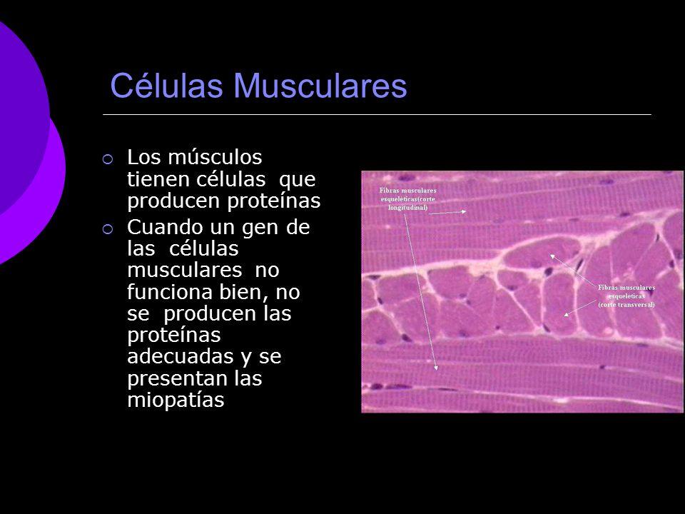 Células Musculares Los músculos tienen células que producen proteínas