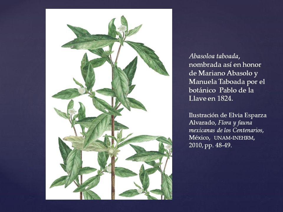 Abasoloa taboada, nombrada así en honor de Mariano Abasolo y Manuela Taboada por el botánico Pablo de la Llave en 1824.