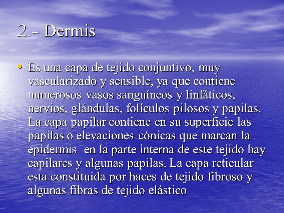 2.- Dermis