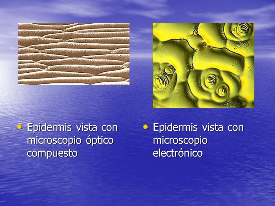 Epidermis vista con microscopio óptico compuesto