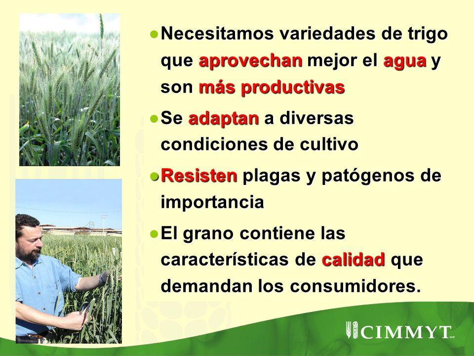 Necesitamos variedades de trigo que aprovechan mejor el agua y son más productivas