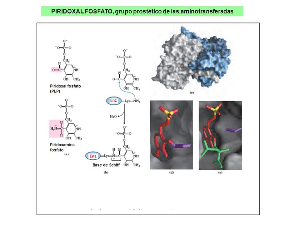 PIRIDOXAL FOSFATO, grupo prostético de las aminotransferadas