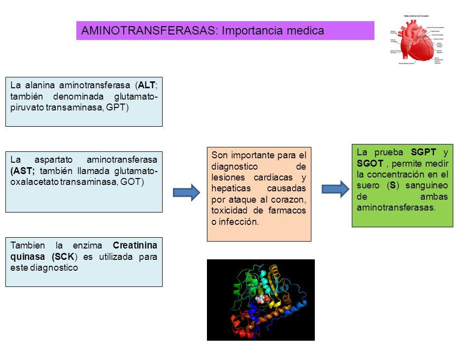 AMINOTRANSFERASAS: Importancia medica