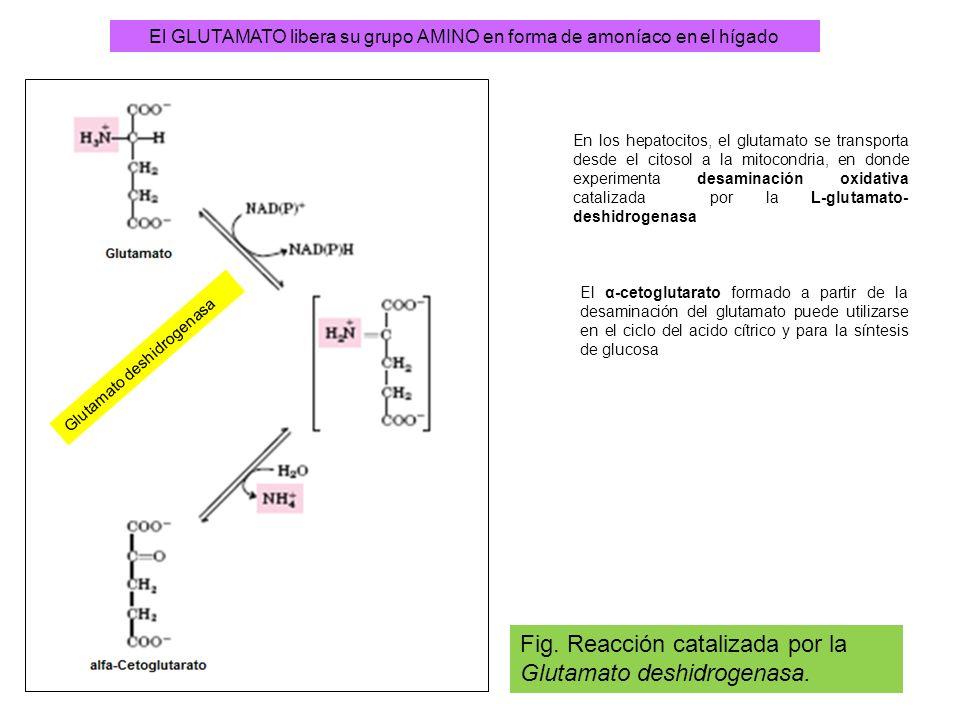 El GLUTAMATO libera su grupo AMINO en forma de amoníaco en el hígado