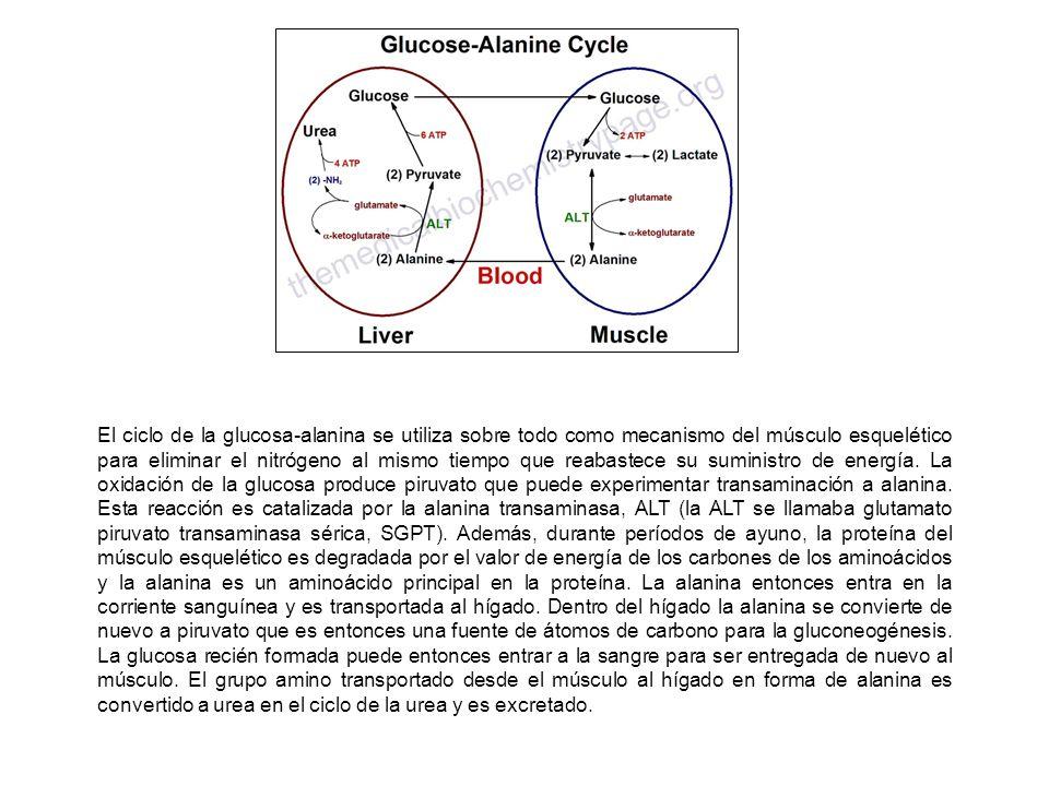 El ciclo de la glucosa-alanina se utiliza sobre todo como mecanismo del músculo esquelético para eliminar el nitrógeno al mismo tiempo que reabastece su suministro de energía.