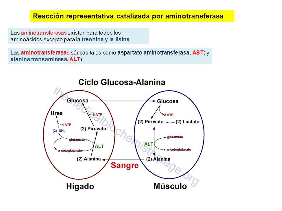 Reacción representativa catalizada por aminotransferasa