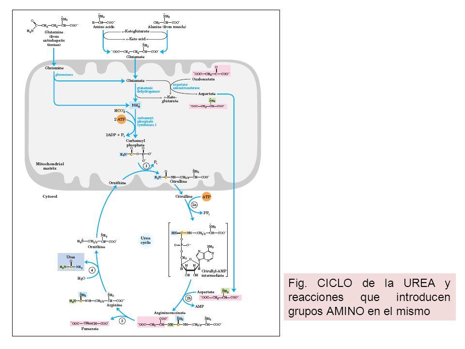 Fig. CICLO de la UREA y reacciones que introducen grupos AMINO en el mismo