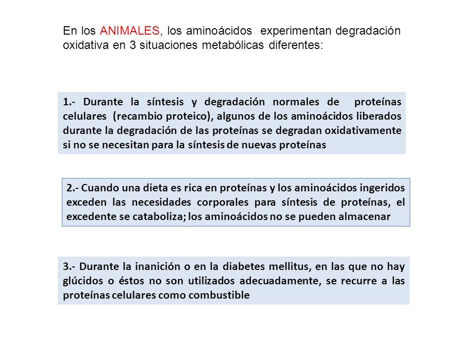 En los ANIMALES, los aminoácidos experimentan degradación oxidativa en 3 situaciones metabólicas diferentes: