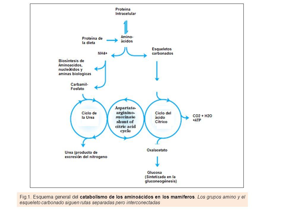 Fig.1. Esquema general del catabolismo de los aminoácidos en los mamíferos.