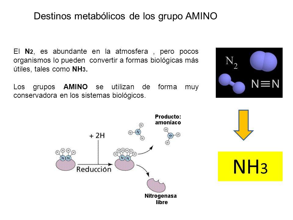 Destinos metabólicos de los grupo AMINO