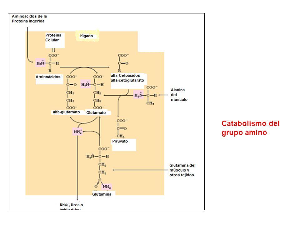 Catabolismo del grupo amino