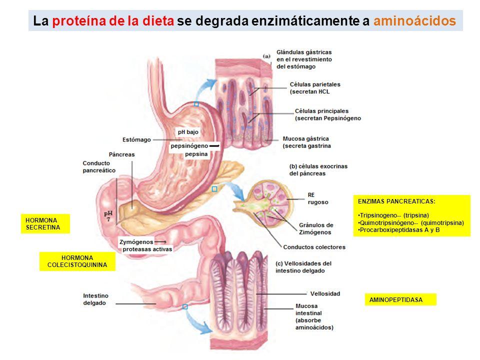 La proteína de la dieta se degrada enzimáticamente a aminoácidos