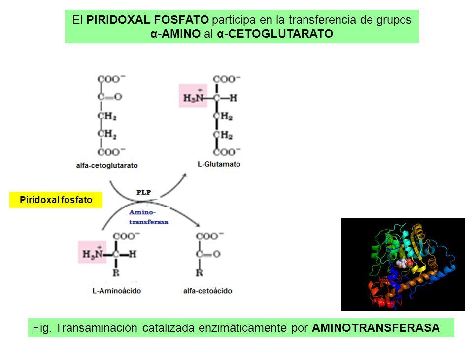 Fig. Transaminación catalizada enzimáticamente por AMINOTRANSFERASA